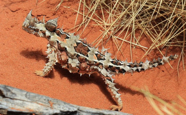 Moloch horridus, Thorny Devil, in the reptile house at Alice Springs Desert Park © Stu's Images/WikiCommons
