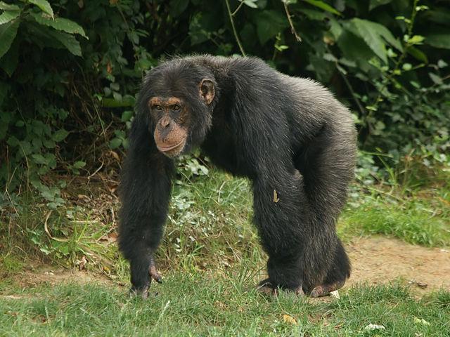 Pan troglodytes (male) | ©Hans Hillewaert/WikiCommons