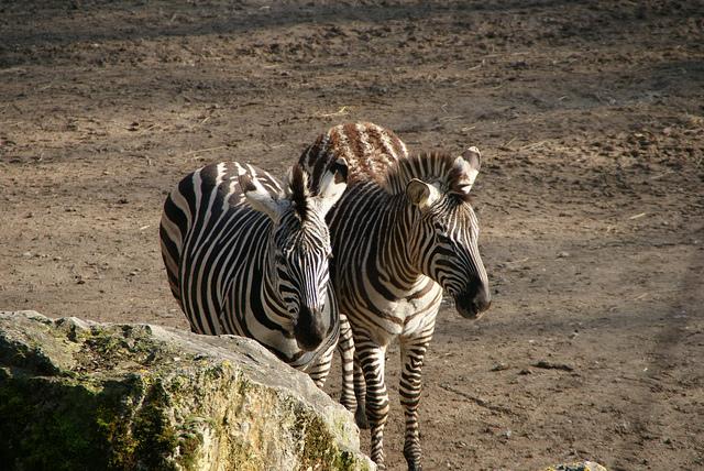 Zebras at Parc Zoologique | ©G Morel/Flickr