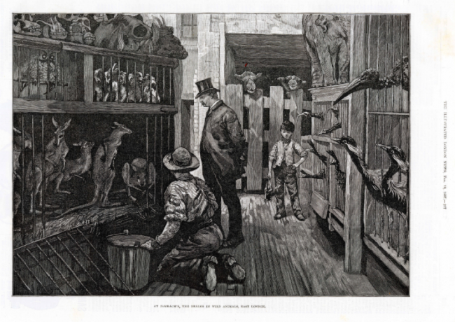 The interior of Jamrach's shop, taken from The London Illustrated News, 1887 | Courtesy of Horniman Gallery