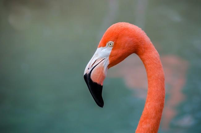 Flamingo | © Robert Claypool/Flickr