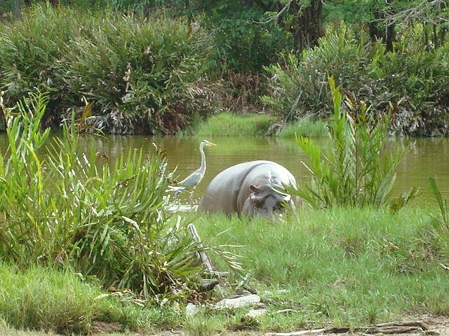 White hippopotamus | © Zahra Abdulmajid/WikiCommons
