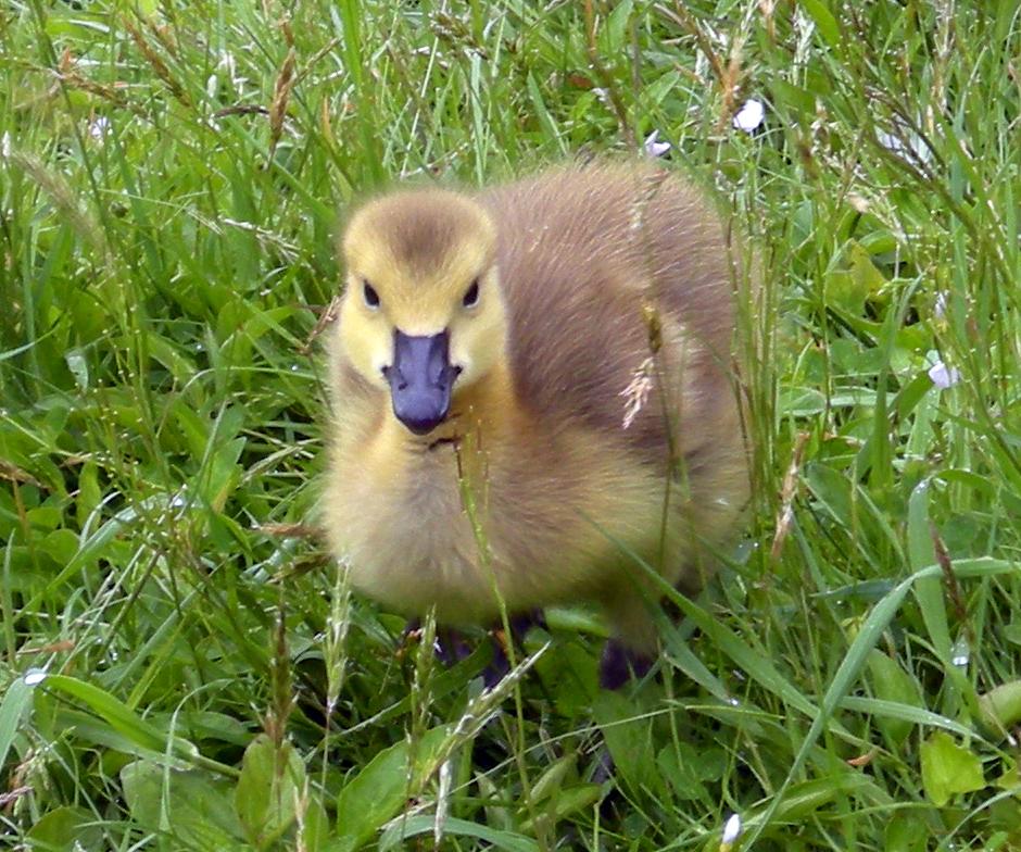 Baby Canada Goose Gosling | © Shawnamac/Deviantart