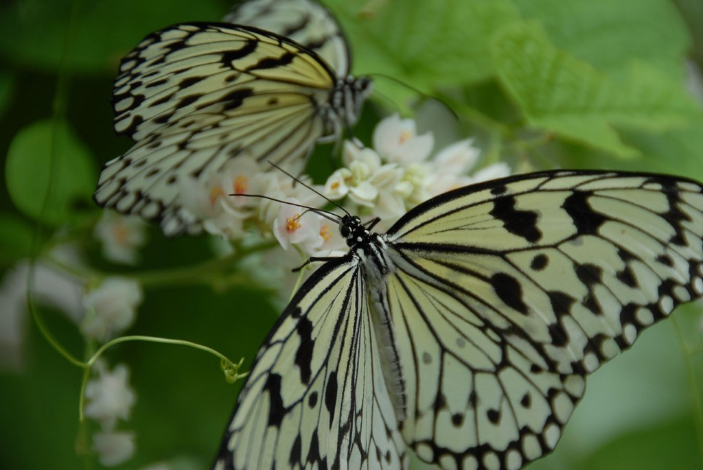 Butterflies|©Viator/Flickr