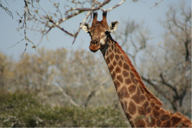 Reason to visit: feeling as you are the only one in the reserve and, of course, seeing giraffe on foot ©Jenny Bowen