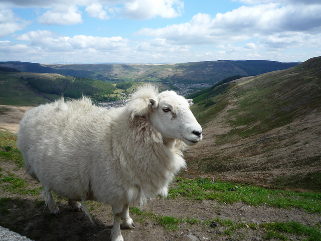 Rhondda Sheep| © Griffin Grinding / Flickr