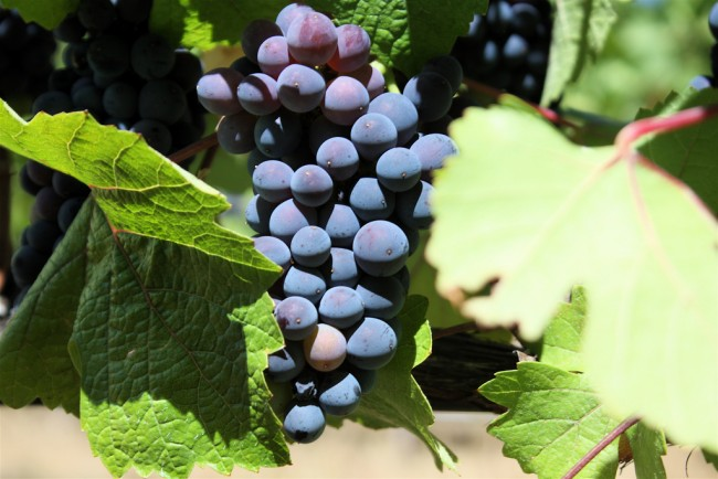 Pinot Noir Grapes in California © Naotake Murayame/Flickr