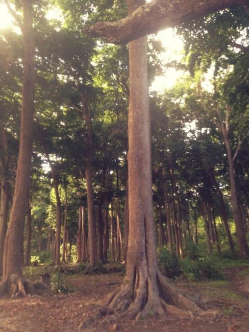 Andaman Islands Trees