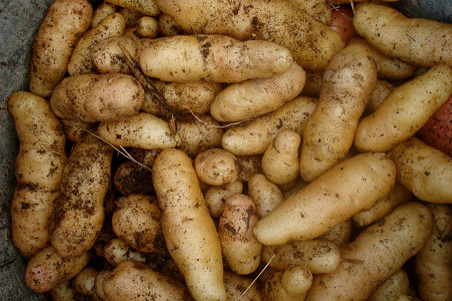 A potato harvest   © Christian Guthier / Flickr