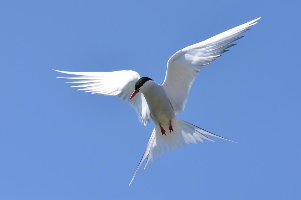 Arctic Tern on Farne | © Lindsay Robinson/Flickr