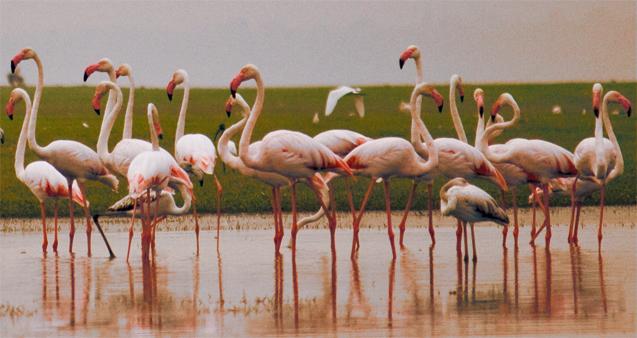 flamingo cluster cropped | © chirag_jog / Flickr