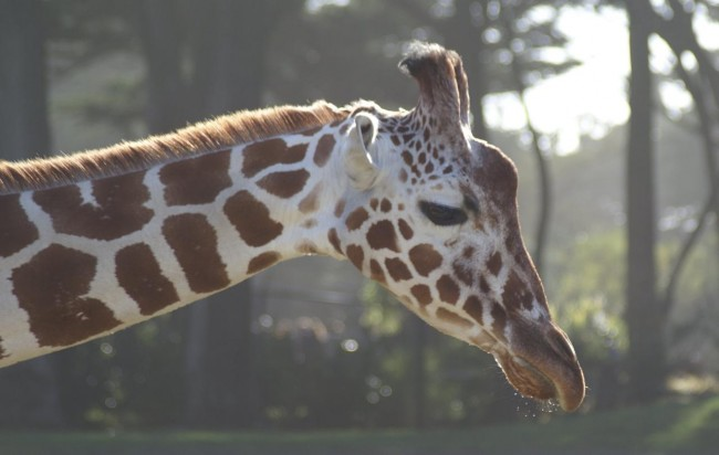 Giraffe © Avi/Flickr