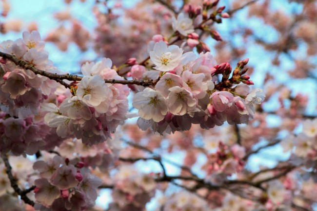 Cherry Blossoms © Alan Wu / Flickr