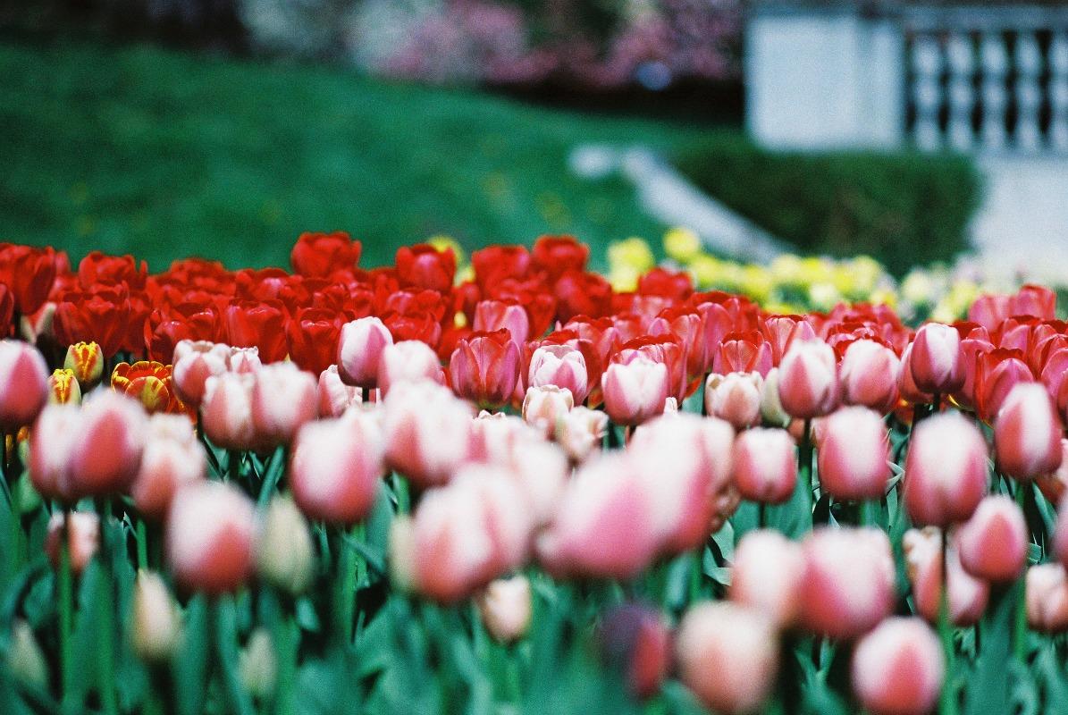 Tulips @ Brooklyn Botanic Garden| © Joseph Bylund/flickr
