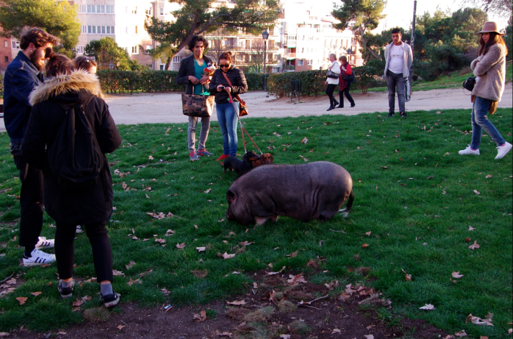 Pet pig attracting attention in Parque del Oeste | © Laura Kauffmann