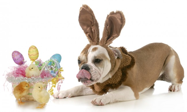 easter dog - english bulldog dressed like bunny with basket of eggs and chicks isolated on white background