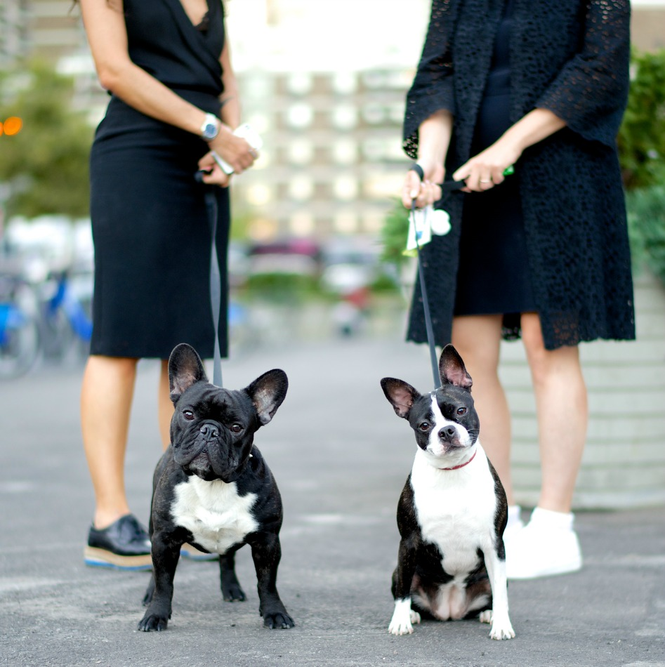 Mario and Gina, French Bulldog and Boston Terrier.Excerpted fromThe Dogistby Elias Weiss Friedman (Artisan Books). Copyright © 2015. Photographs by The Dogist, LLC.