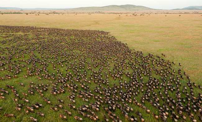 Wildebeest migration in Serengeti National Park | © Daniel Rosengren/WikiCommons