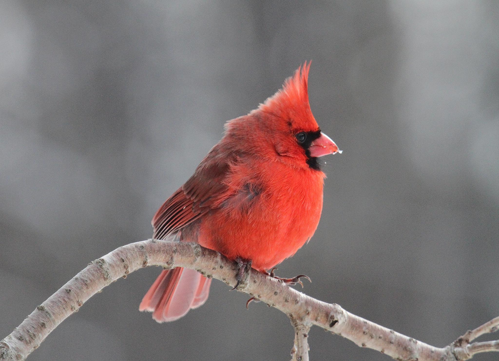 Cardinal | © John Flannery/Flickr