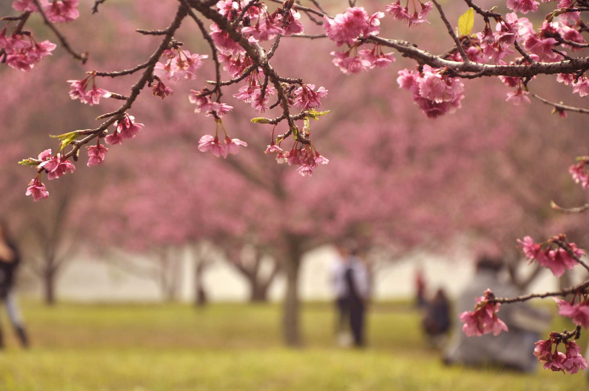 Sakura Matsuri | © Harumi Yukawa/Flickr