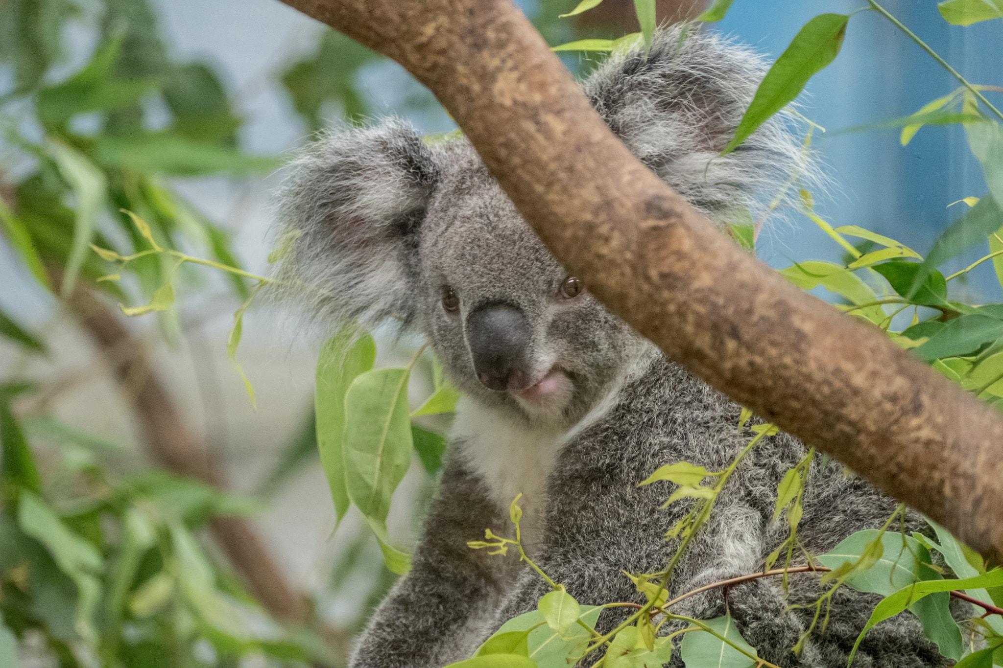 Koala at Taipei Zoo