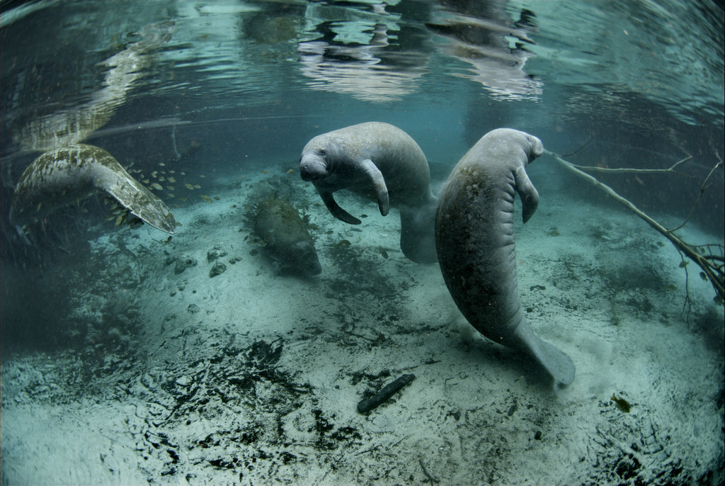 Manatees | © USFWS Endangered Species/Flickr