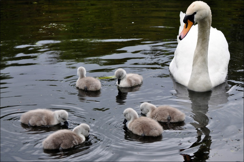 Swan and six cygnets on Queensmere pond in Wimbledon Common | George Rex via Flickr