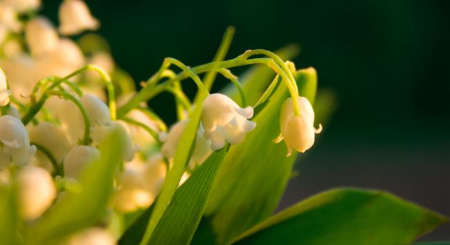 Muguet | © Otodo/Flickr