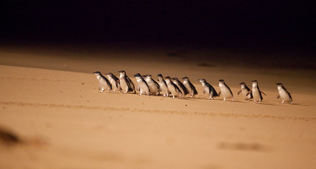 Penguin Parade, ©Phillipislandtourism, Wiki Commons