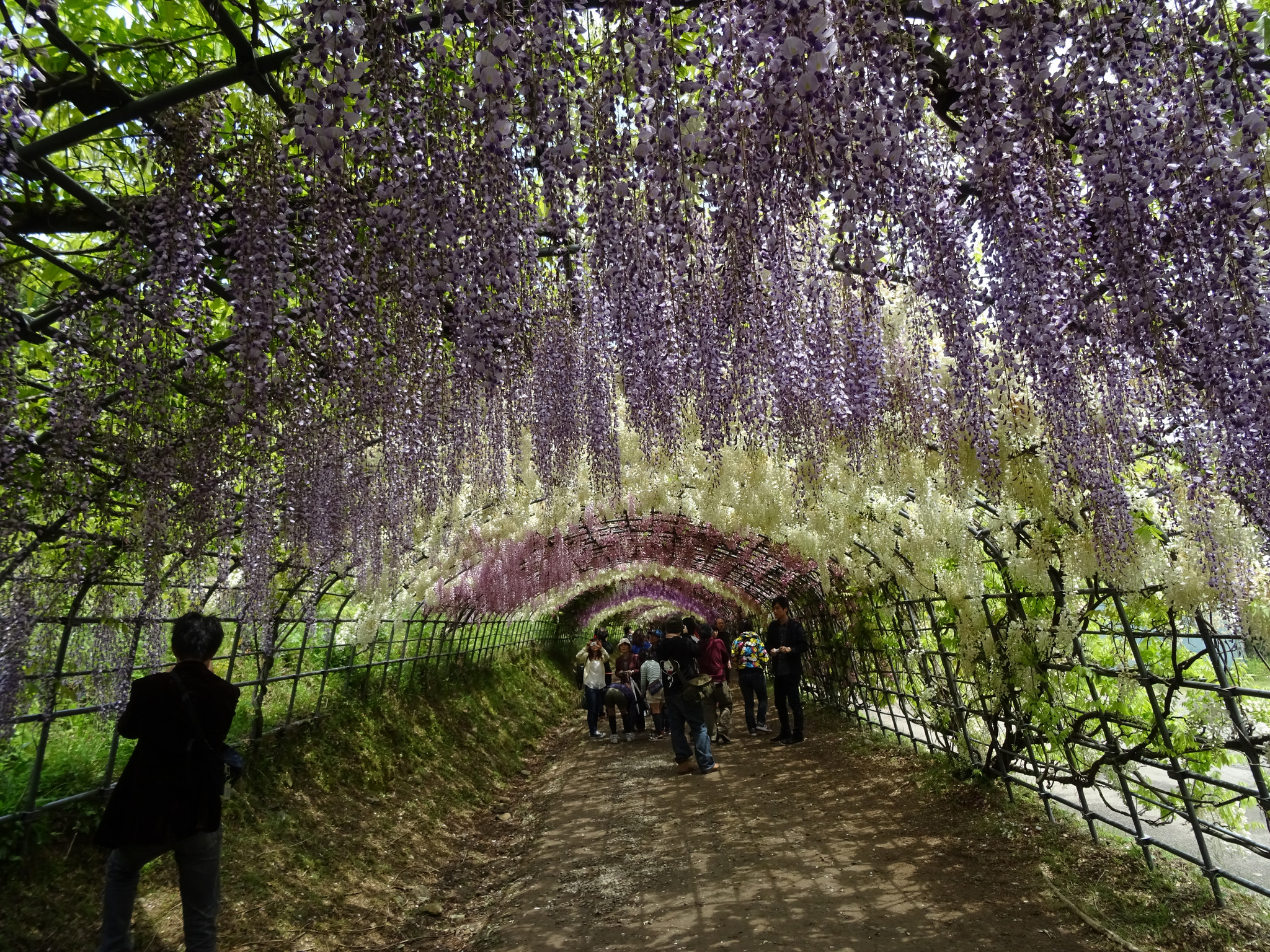 Wisteria Tunnels at Kawachi Fujien Gardens, Japan | © inazakira/Flickr