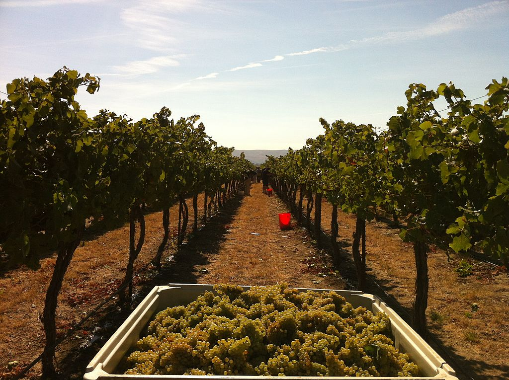 Chardonnay grapes harvested from Wykoff - © Agnes27/wikicommons