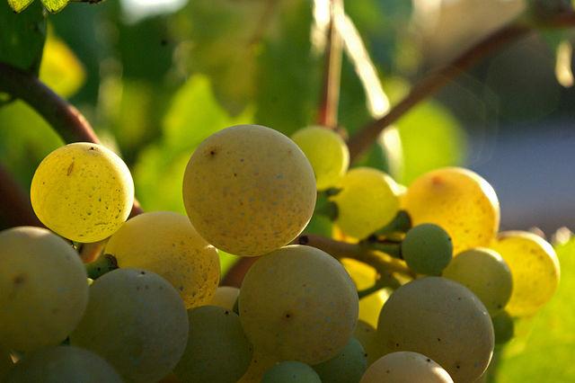 Xarel.lo Cava grapes | © Batega / WikiCommons