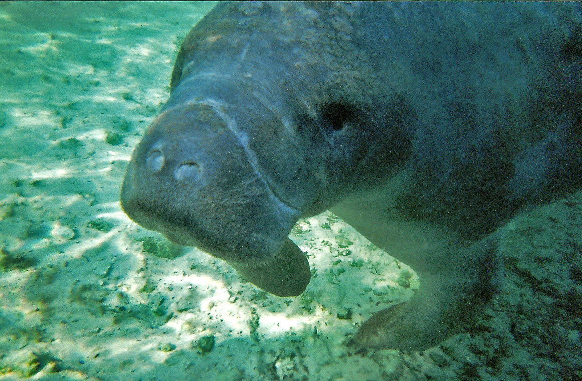 Manatee in Crystal River | © Andy/Flickr