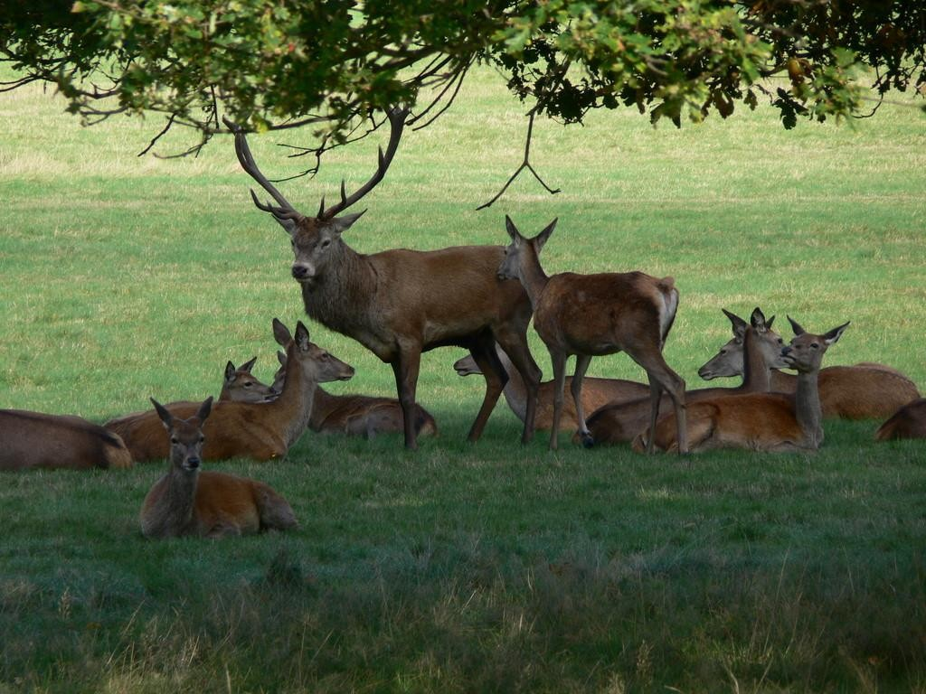 Deer at Richmond Park | Courtesy of The Royal Parks © Su Hume