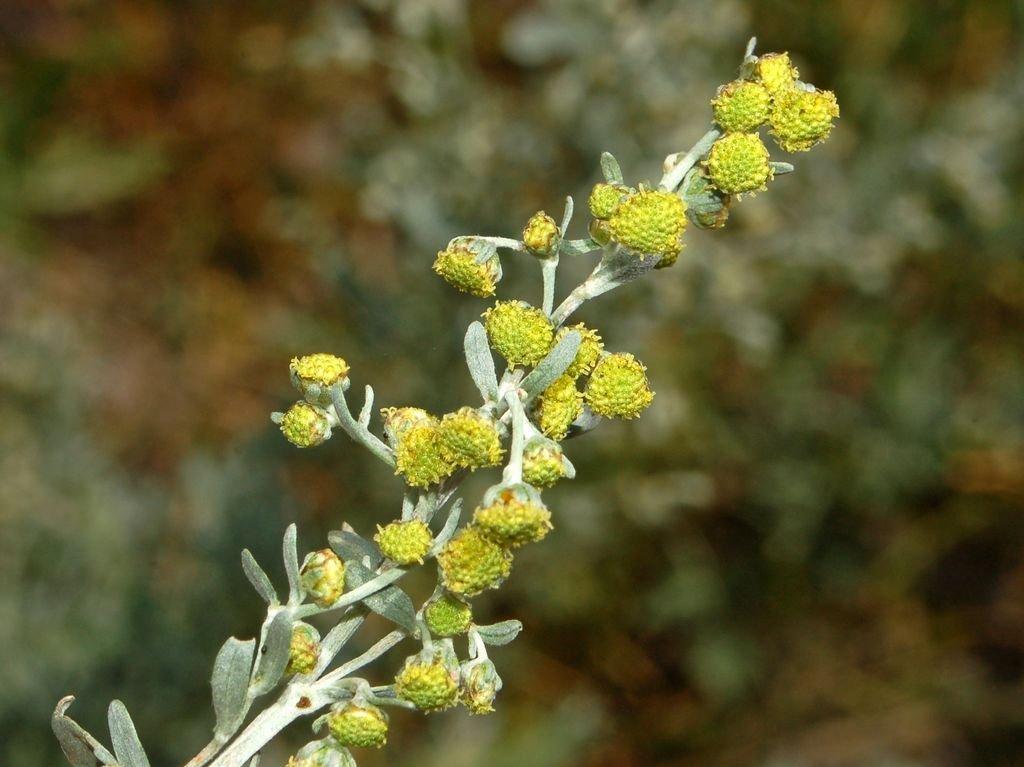 Artemisia Absinthium | © Ettore Balocchi / Flickr