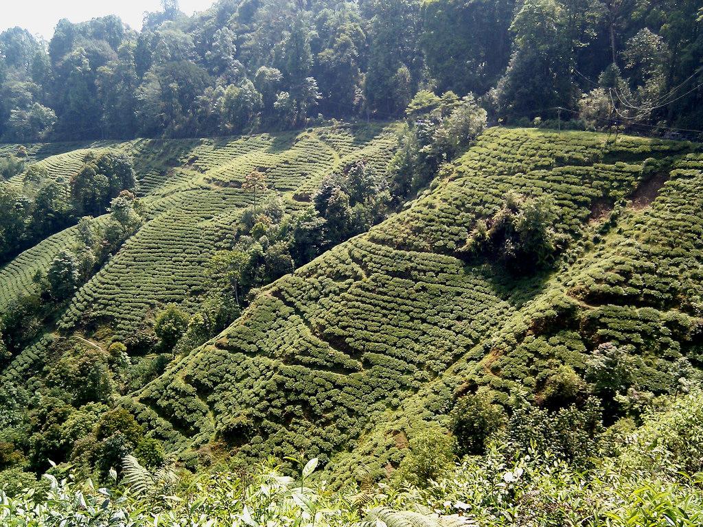 Darjeeling tea gardens | © Abhishek Kumar/Flickr