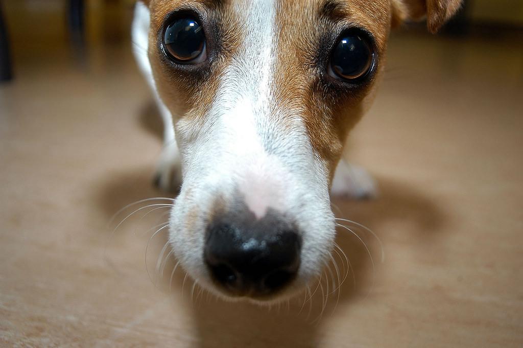 Dog © University of Liverpool / Flickr