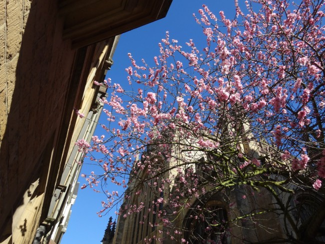 Pink blossoms in front of University Church of St. Mary the Virgin