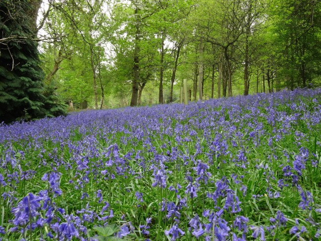 The bluebell wood in the Harcourt Arboretum