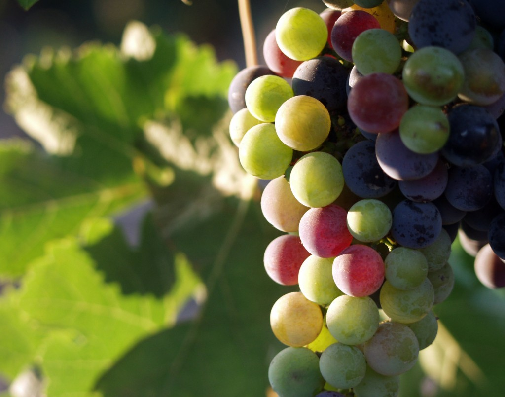 Grapes During Pigmentation - © Tomas Castelazo/Wikicommons