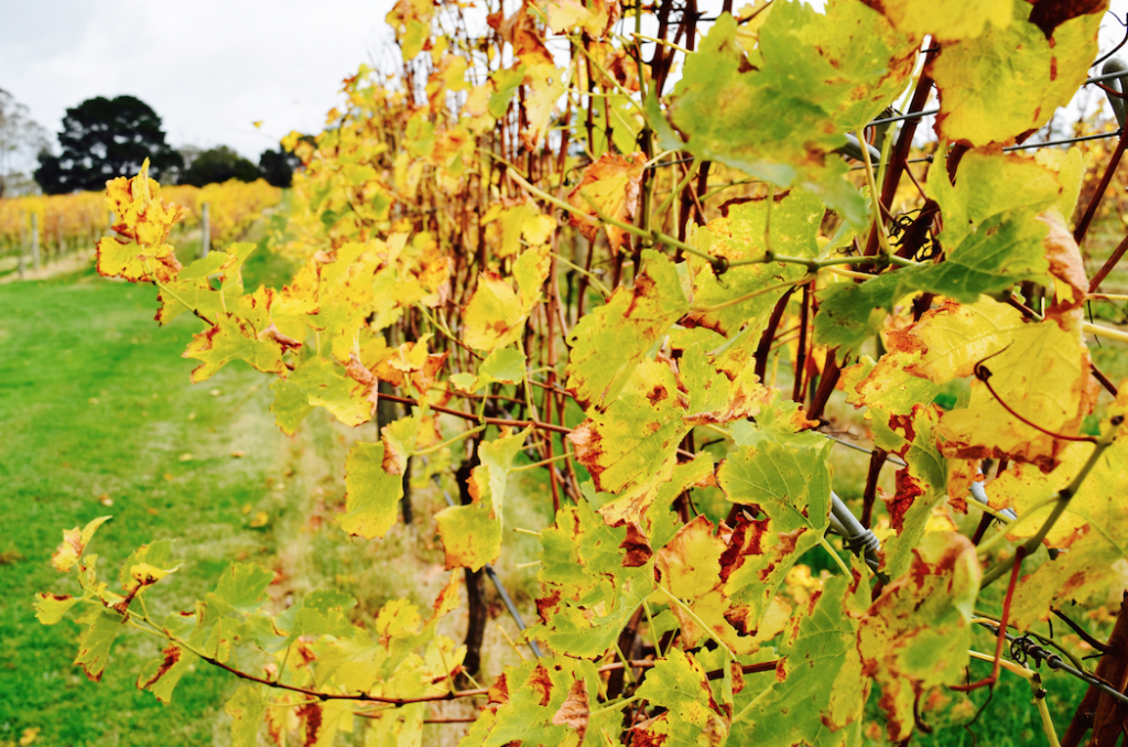 Up close with the vines during Autumn © Jessica Poulter