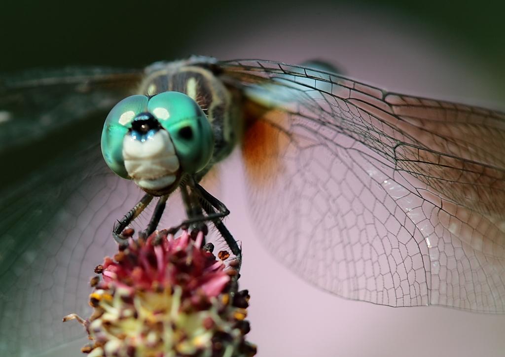 Dragonfly | © Paul Stein/Flickr