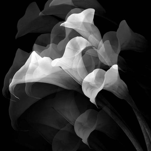 Lilies, 1989 by Robert Mapplethorpe.