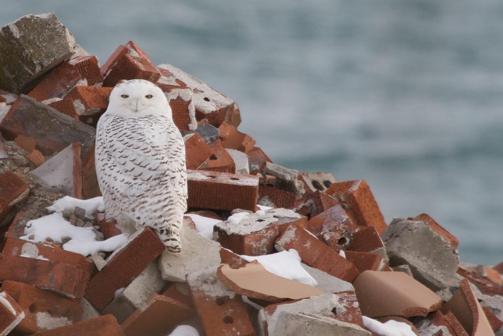 Snowy Owl | © Matt MacGillivray/Flickr
