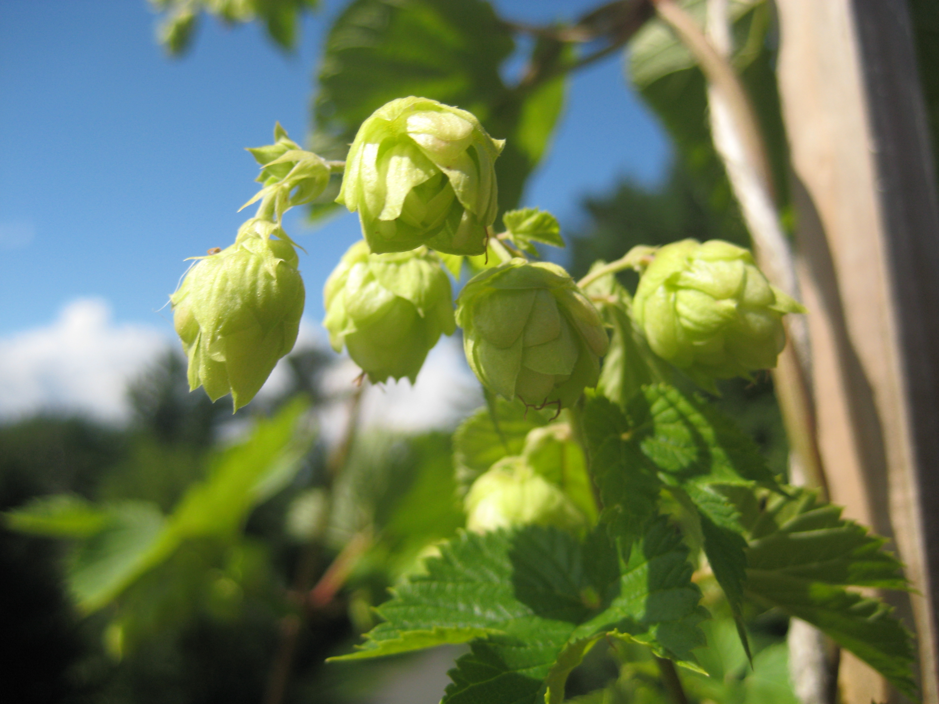 Hop Plant ©Michael Styne/Flickr