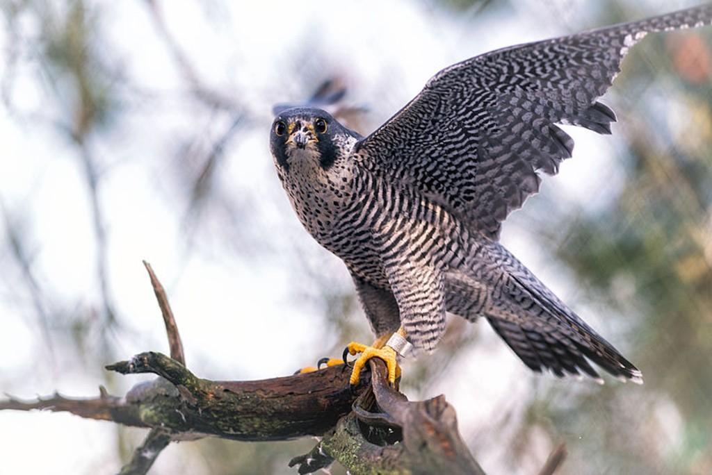 Peregrine Falcon | © Eric Kilby/ Wiki Commons