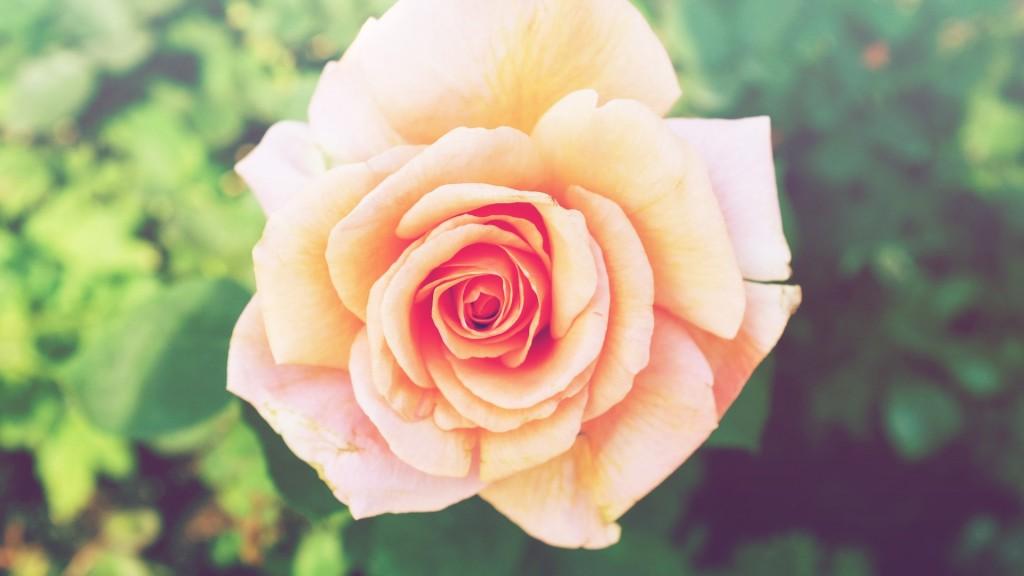 Rose | © 贝莉儿 NG / Unsplash