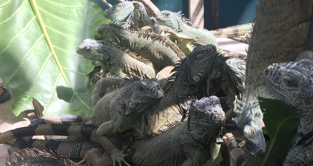 Iguanas | Courtesy of Michelle Razavi