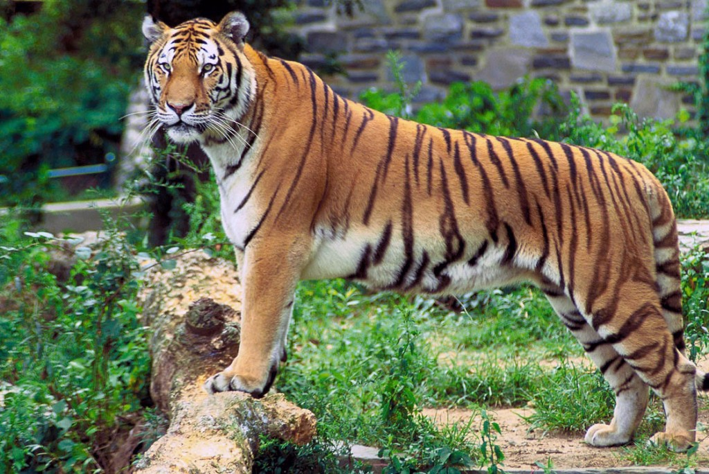 Tiger | © Hollingsworth, John and Karen / WikiMedia Commons