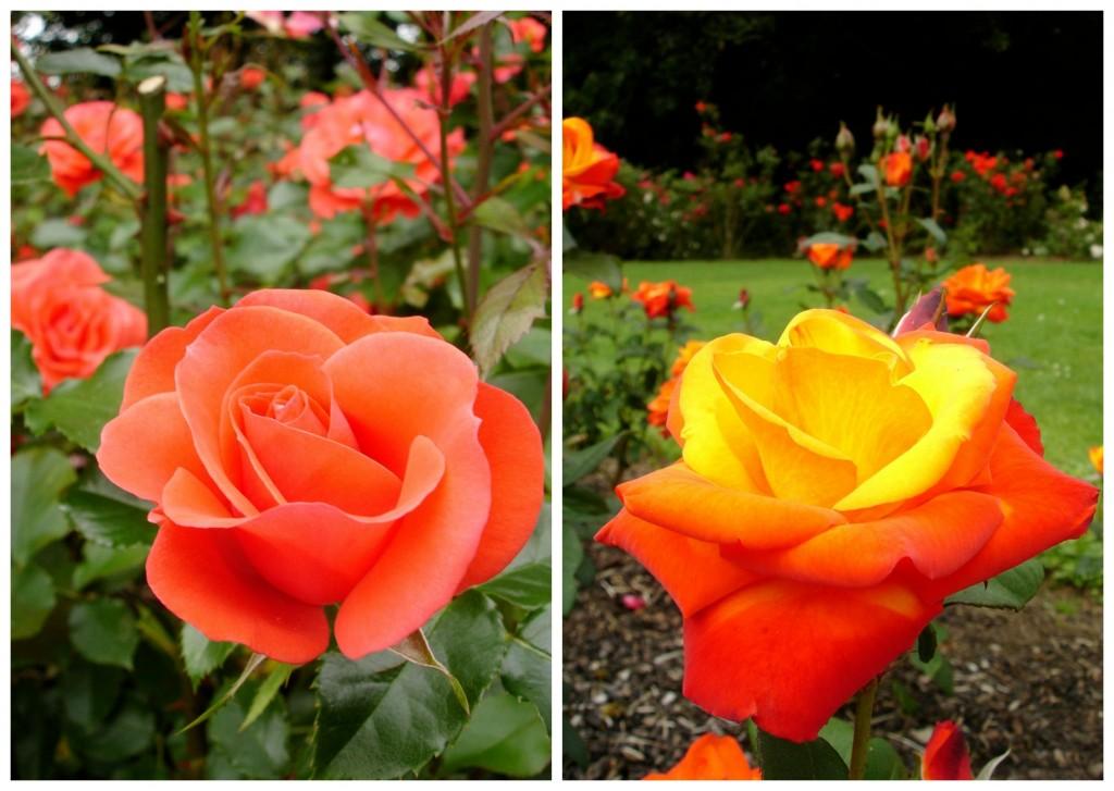 Rose Week | © Donna / Flickr